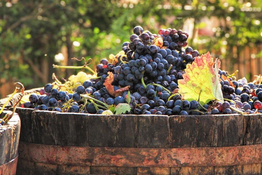 Lake Chelan October Harvest Season wine grapes