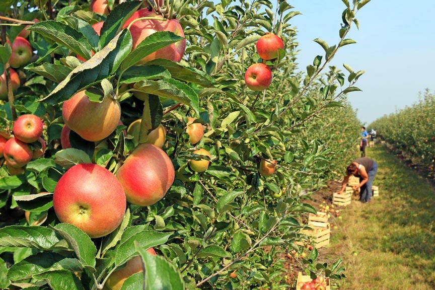 Lake Chelan October Harvest Season apples